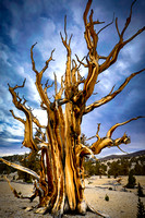 Patriarch Grove Ancient Bristlecone Pine Forest